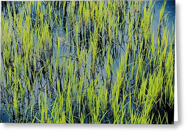 Aquatic Plants Greeting Cards - Grass Growing In The Water Creates An Greeting Card by Skip Brown