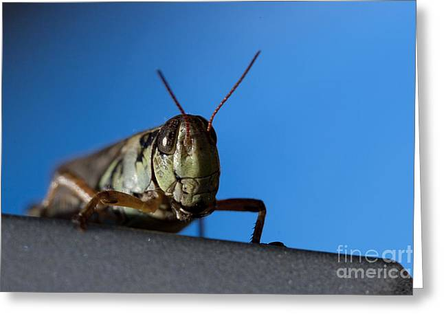 Cicada Greeting Cards - Grass Hopper Pose Greeting Card by Darcy Michaelchuk