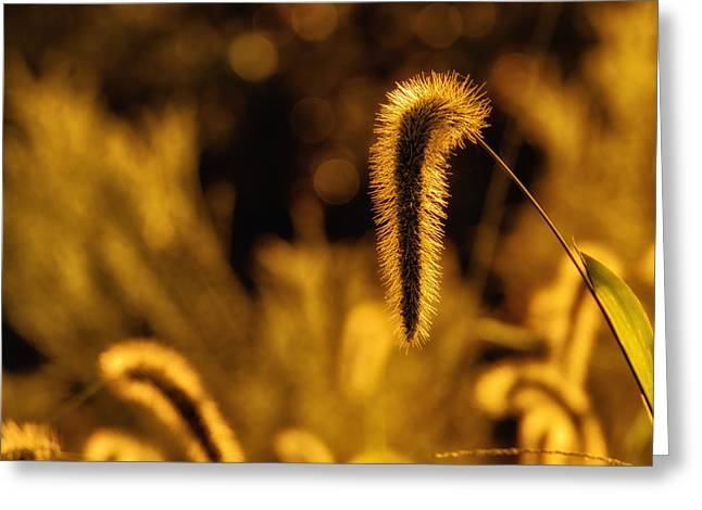 Head Wrap Greeting Cards - Grass in Golden Light Greeting Card by Lori Coleman