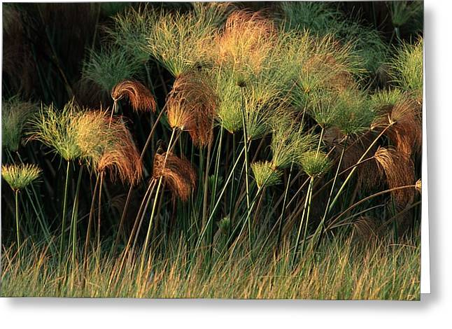 Zambezi River Greeting Cards - Grasses And Tassles, Zambezi River Area Greeting Card by Chris Johns