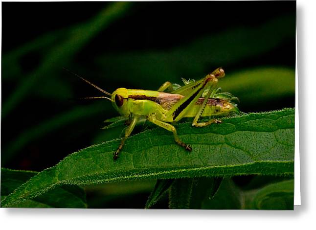 Locus Greeting Cards - Grasshopper 1 Greeting Card by Douglas Barnett