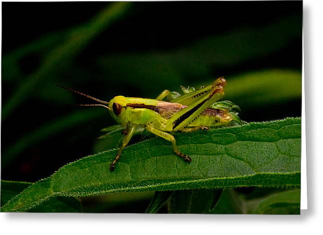 Locus Greeting Cards - Grasshopper 2 Greeting Card by Douglas Barnett