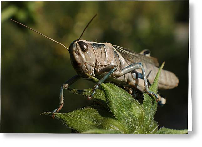 Grasshopper 2 Greeting Card by Ernie Echols