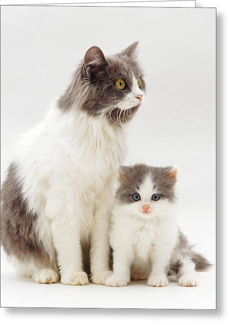 Cute Kitten Greeting Cards - Gray-and-white Cat And Kitten Greeting Card by Jane Burton