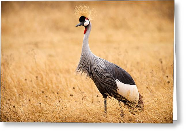 Ngorongoro Crater Greeting Cards - Gray Crowned Crane Greeting Card by Adam Romanowicz