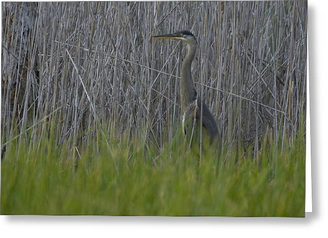 Gray Heron Greeting Cards - Gray Heron Hunting In Marsh Reeds Greeting Card by Paul Sutherland