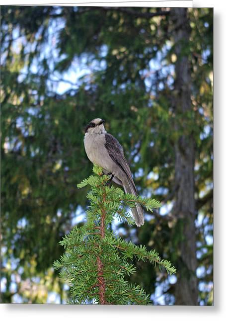 Jaybird Greeting Cards - Gray Jay Bird Greeting Card by Marilyn Wilson