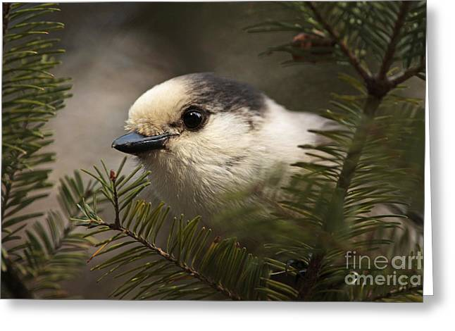 Shelley Myke Greeting Cards - Gray Jay Playing Peek a Boo Greeting Card by Inspired Nature Photography By Shelley Myke