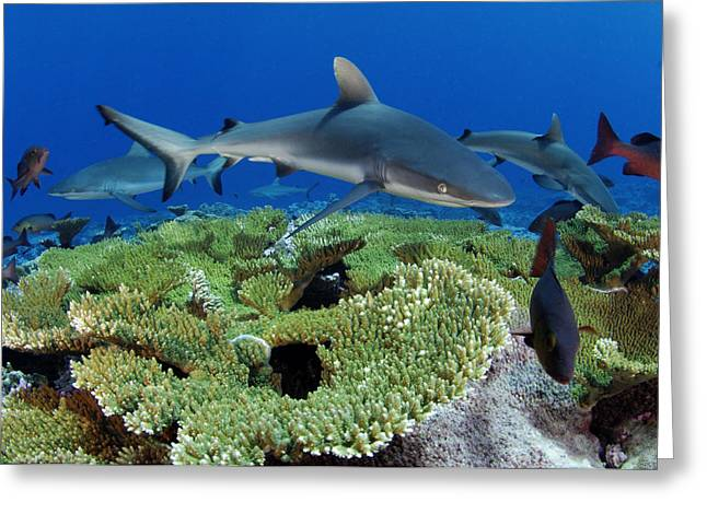 Red Snapper Greeting Cards - Gray Reef Sharks And Red Snappers Hover Greeting Card by Brian J. Skerry