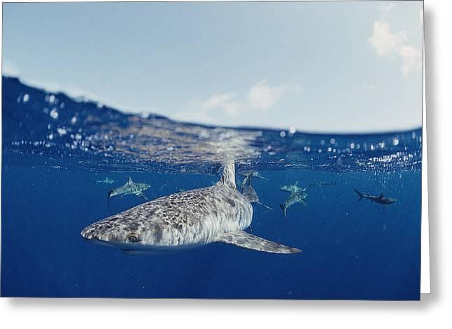 Aquatic Split Level Views Greeting Cards - Gray Reef Sharks Carcharhinus Greeting Card by Bill Curtsinger