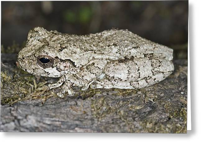 Versicolor Greeting Cards - Gray Treefrog Greeting Card by Clay Coleman