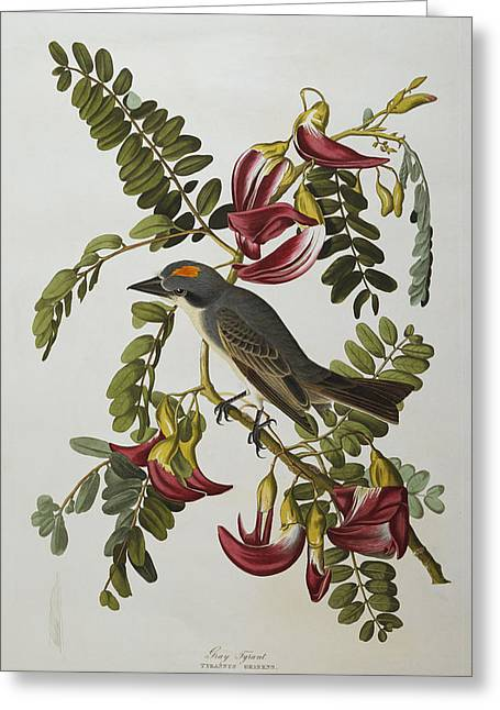 Gray Bird Greeting Cards - Gray Tyrant Greeting Card by John James Audubon