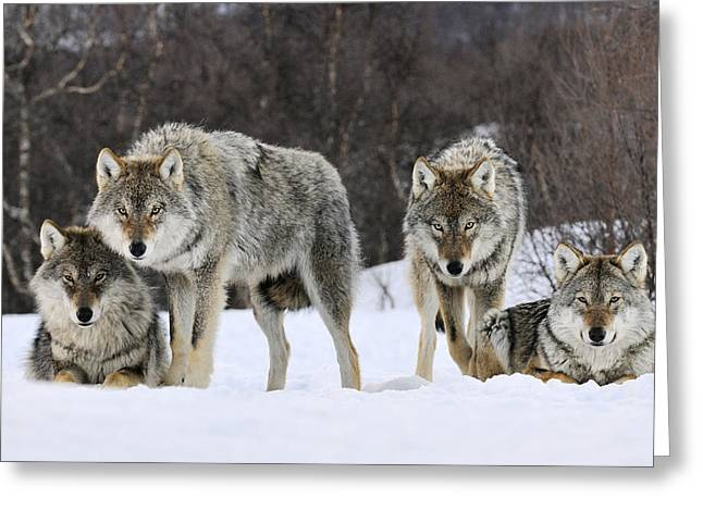 Animals and Earth - Greeting Cards - Gray Wolf Canis Lupus Group, Norway Greeting Card by Jasper Doest
