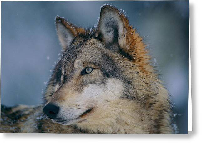 Ely Greeting Cards - Gray Wolf Canis Lupus Greeting Card by Joel Sartore
