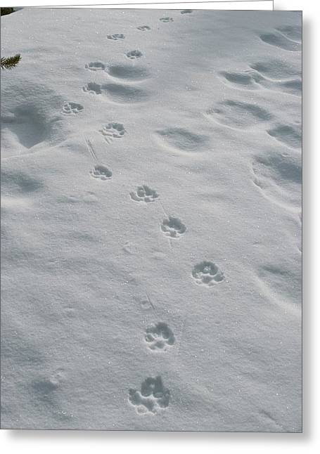Animal Tracks Greeting Cards - Gray Wolf, Canis Lupus, Tracks Head Greeting Card by Jim And Jamie Dutcher