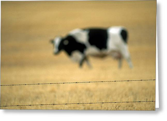Grazing Cow, Alberta, Canada Greeting Card by Ron Watts