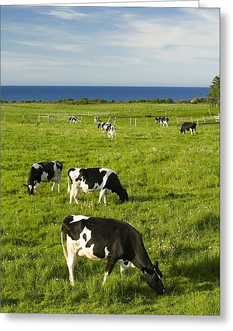 E Black Greeting Cards - Grazing Cows, Cavendish, Prince Edward Greeting Card by John Sylvester