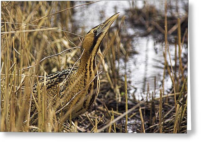 Reed Bed Greeting Cards - Great Bittern In Reed Bed Greeting Card by Duncan Shaw
