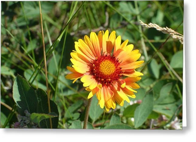 Lynnview Greeting Cards - Great Blanket Flower Gaillardia Greeting Card by Mark Lehar