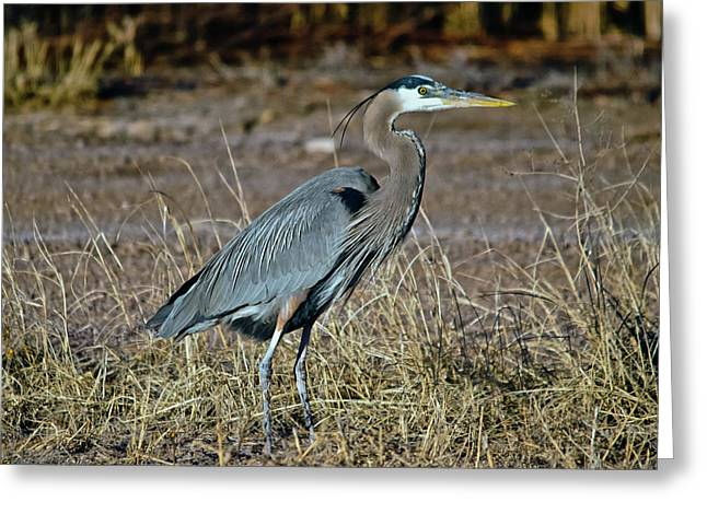 Great Blue Heron 2 Greeting Card by Harry Strharsky