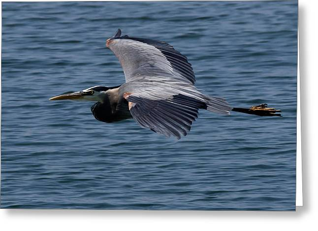 Great Birds Greeting Cards - Great Blue Heron Greeting Card by Cale Best