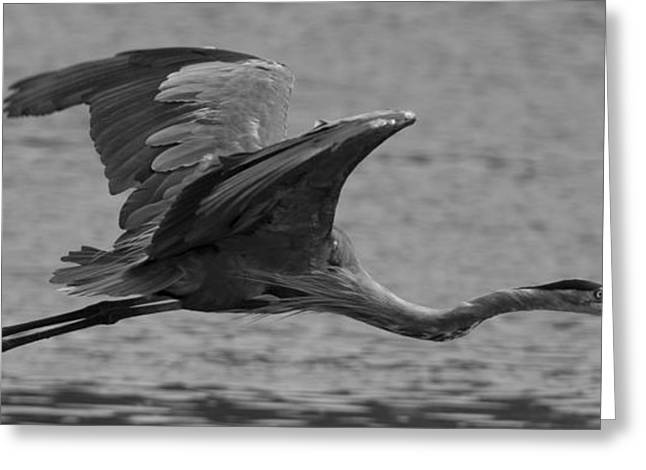 Water Fowl Greeting Cards - Great Blue Heron Greeting Card by Christopher Kulfan