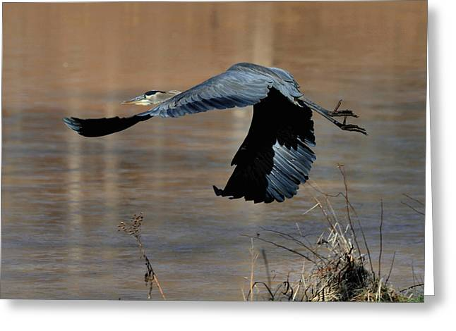 Great Blue Heron Flight - C1287g Greeting Card by Paul Lyndon Phillips