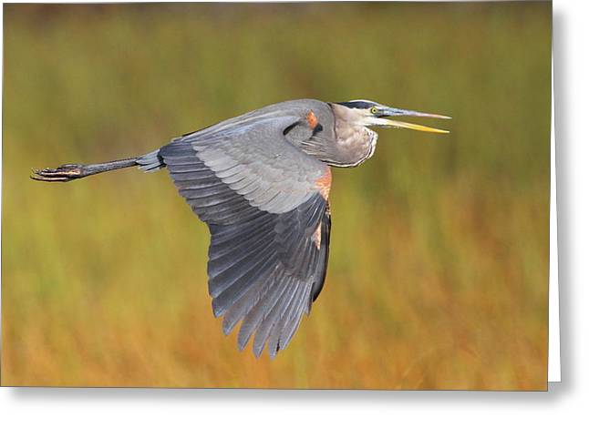 Waterbird Greeting Cards - Great Blue Heron In Flight Greeting Card by Bruce J Robinson