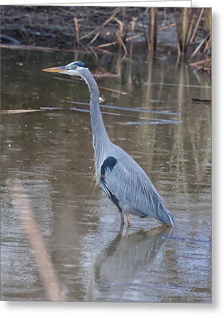 Ardea Greeting Cards - Great Blue Heron Merced County CA Greeting Card by Troy Montemayor