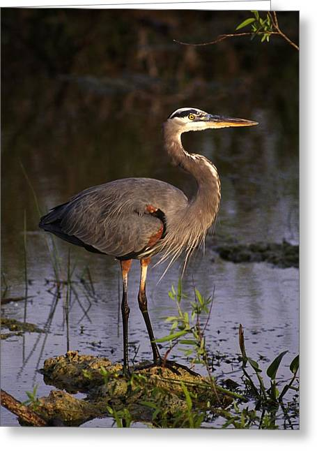 Great Blue Heron Greeting Card by Natural Selection Ralph Curtin