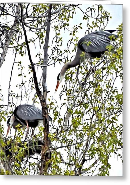 West Fork Greeting Cards - Great Blue Heron Nest Greeting Card by Don Mann