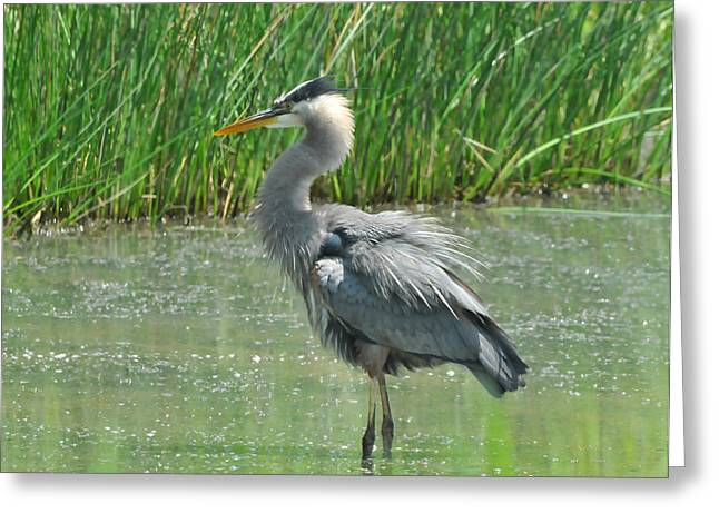 Water In Cave Greeting Cards - Great Blue Heron Greeting Card by Paul Ward