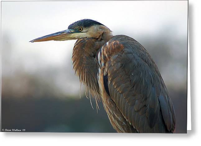 Best Sellers -  - Surveying Greeting Cards - Great Blue Heron Portrait Greeting Card by Brian Wallace
