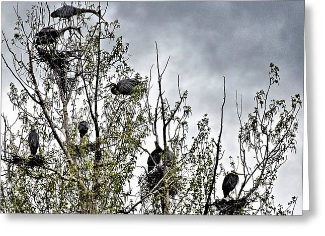 West Fork Digital Greeting Cards - Great Blue Heron Rookery-1 Greeting Card by Don Mann
