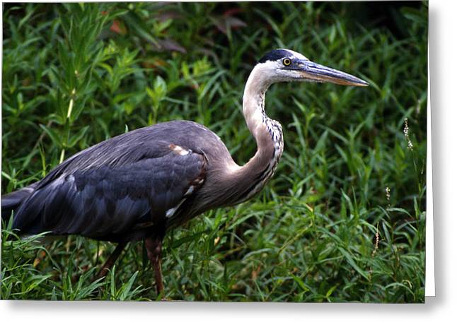 Photos Of Birds Greeting Cards - Great Blue Heron Stalking Greeting Card by Skip Willits