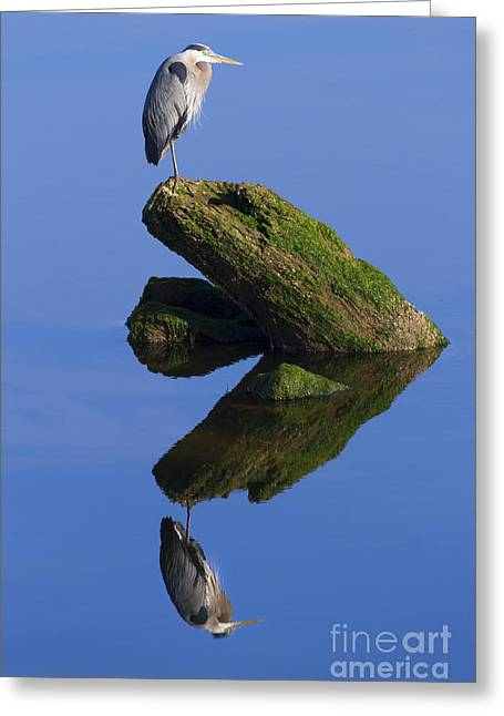 Herodias Greeting Cards - Great Blue Reflection Greeting Card by Mike  Dawson