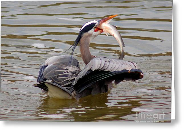 Great Blue With A Drum Greeting Card by Robert Frederick