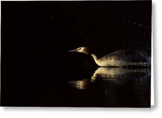 Great Crested Grebe in a hurry Greeting Card by Andy Astbury