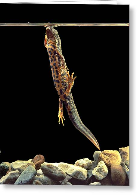 Hibernation Greeting Cards - Great Crested Newt Greeting Card by Andy Harmer