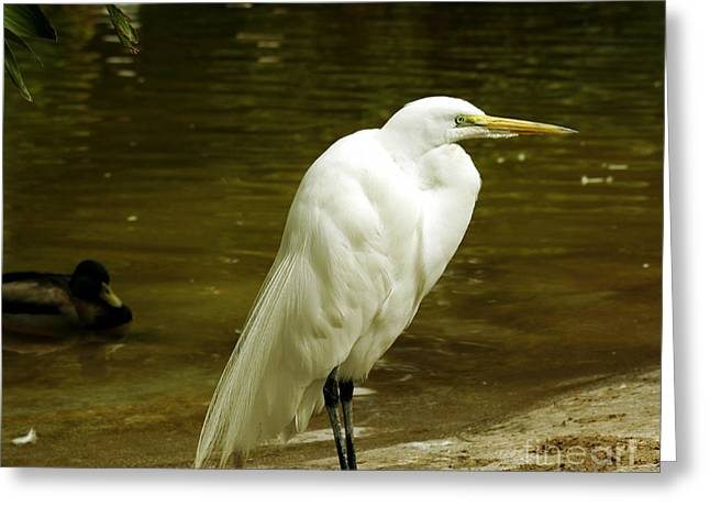 Wall Art For Your Home Or Office Greeting Cards - Great Egret 2 Greeting Card by Cheryl Young
