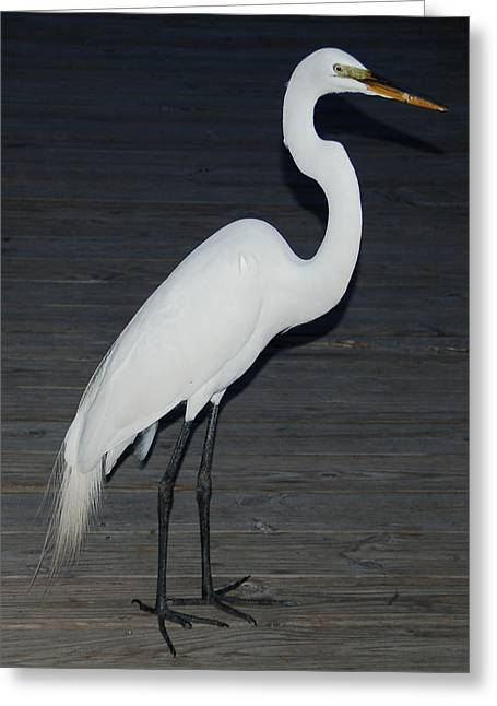 Snowy Egret Greeting Card by Aimee L Maher Photography and Art Visit ALMGallerydotcom