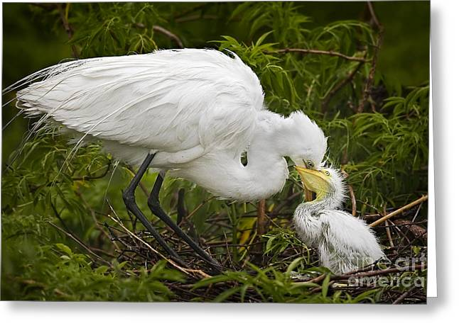 Great Egret and Chick Greeting Card by Susan Candelario
