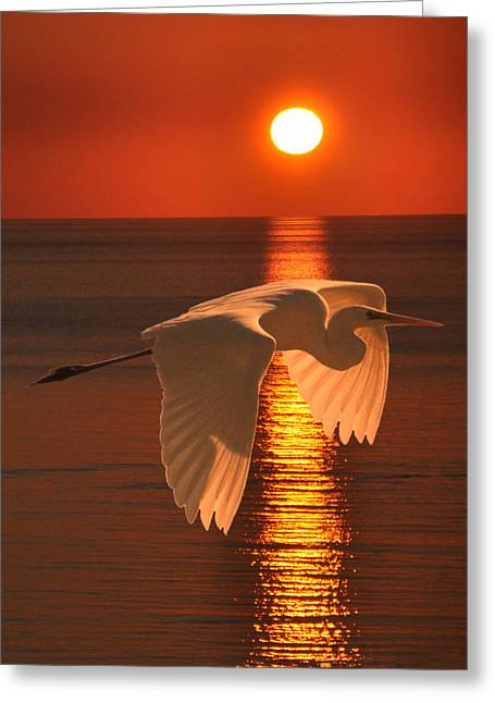 Eric Kempson Greeting Cards - Great Egret at sunset Greeting Card by Eric Kempson