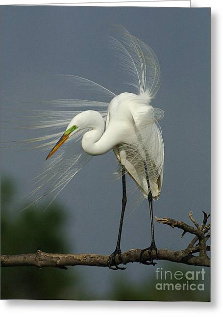 Egret Greeting Cards - Great Egret Greeting Card by Bob Christopher