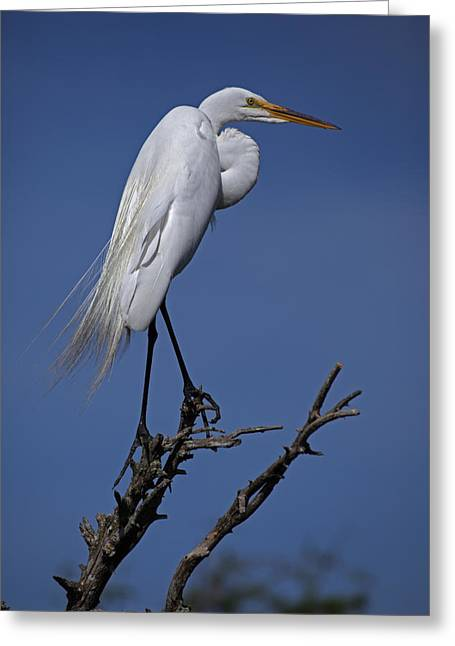 Full-length Portrait Greeting Cards - Great Egret, Casmerodius Albus, Perched Greeting Card by John Cancalosi
