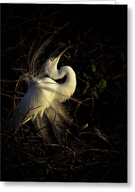 Warm Tones Greeting Cards - Great Egret in great light Greeting Card by Rob Travis