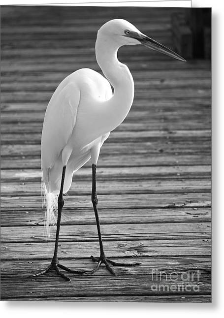 Great White Egrets Greeting Cards - Great Egret on the Pier - Black and White Greeting Card by Carol Groenen