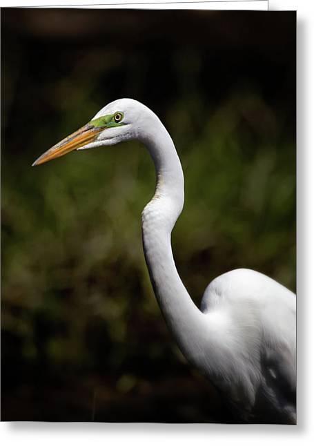 Feeding Birds Greeting Cards - Great Egret Portrait Greeting Card by Al  Mueller