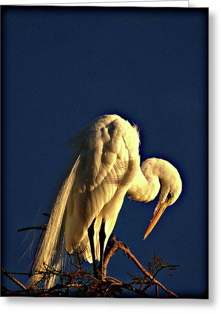 Great Egret Praying For Sun Greeting Card by John Wright