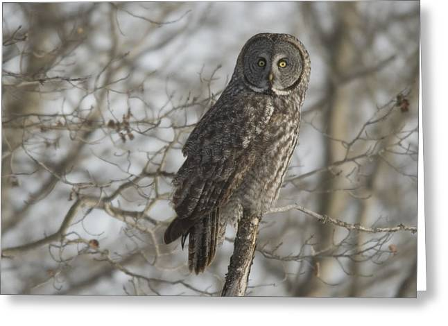 Without Action Greeting Cards - Great Gray Owl In Late Winter Forest Greeting Card by Grambo Photography and Design Inc.